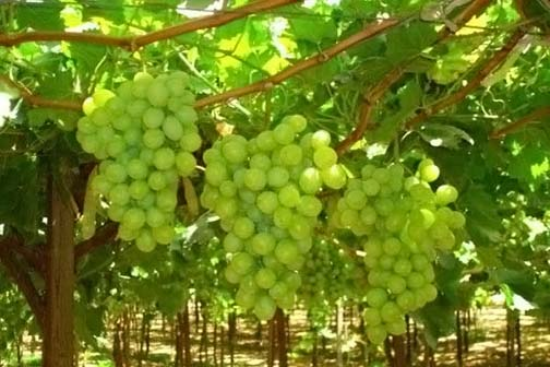In Ayurveda, grape is said to be a treasure of health: If depression is to be avoided, eat the grapes